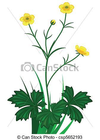 Vectors of Buttercups florets.