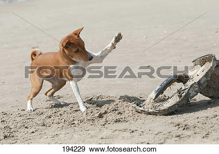 Stock Photograph of Basenji. Bitch (4 years old) playing on a.