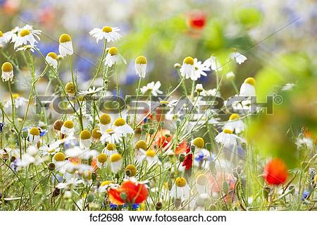 Pictures of abundance of blooming wild flowers on the meadow at.