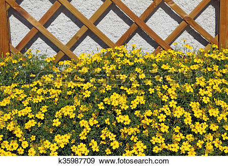 Stock Photograph of yellow balcony flowers.