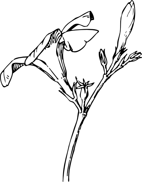 Oleander Flower And Bud clip art Free Vector / 4Vector.