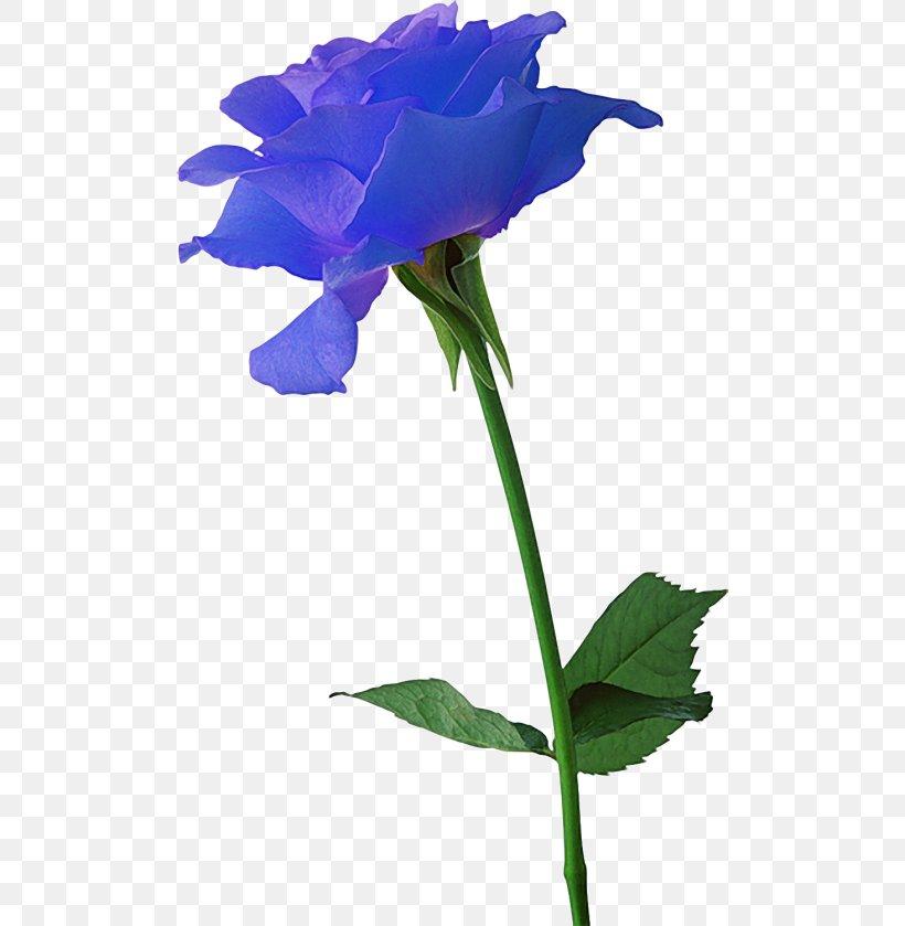 Flowering Bulbs Black Rose Plant, PNG, 500x839px, Flowering.