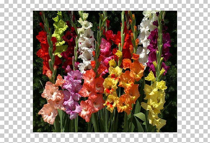 Gladiolus Cut Flowers Flowering Bulbs PNG, Clipart.