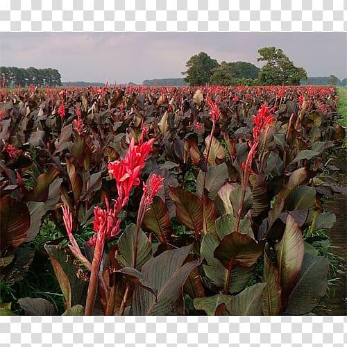 Canna Cash crop, Flowering Bulbs transparent background PNG.