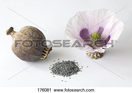 Stock Photography of Opium Poppy (Papaver somniferum). Flower.