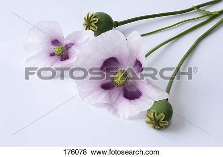 Pictures of Opium Poppy (Papaver somniferum). Stalks with flowers.