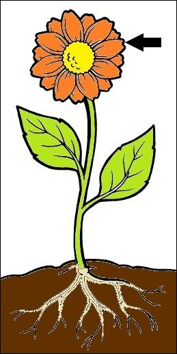 Flower clipart with roots 4 » Clipart Station.