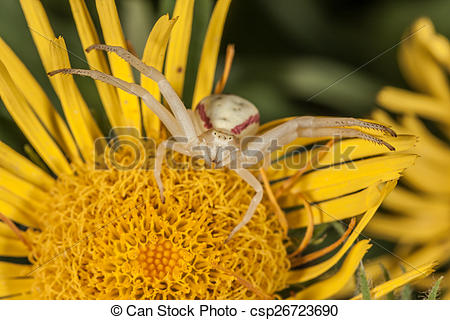 Stock Photographs of Crab spider on yellow flower macro.
