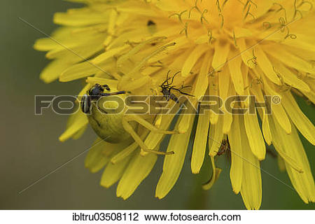 "Stock Photo of ""Goldenrod Crab Spider or Flower Crab Spider."