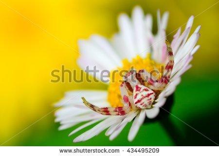 White Crab Spider On Flower Fotografie, snímky pro členy zdarma a.