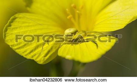 Stock Images of Goldenrod crab spider or flower spider (Misumena.
