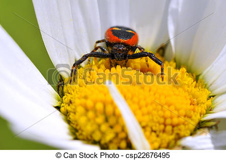 Stock Photographs of Crab spider on daisy flower.