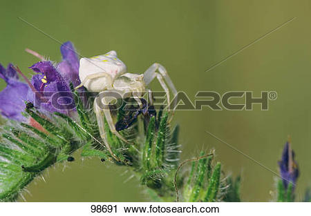 Stock Photography of Goldenrod Crab Spider on plant / misumena.
