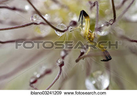 "Stock Photograph of ""Goldenrod Crab Spider or Flower Crab Ppider."