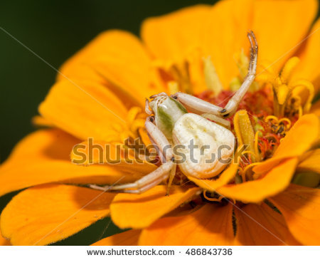 "flower Crab Spider"" Stock Photos, Royalty."