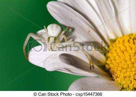 Stock Image of White Crab Spider waiting for prey on a Daisy.