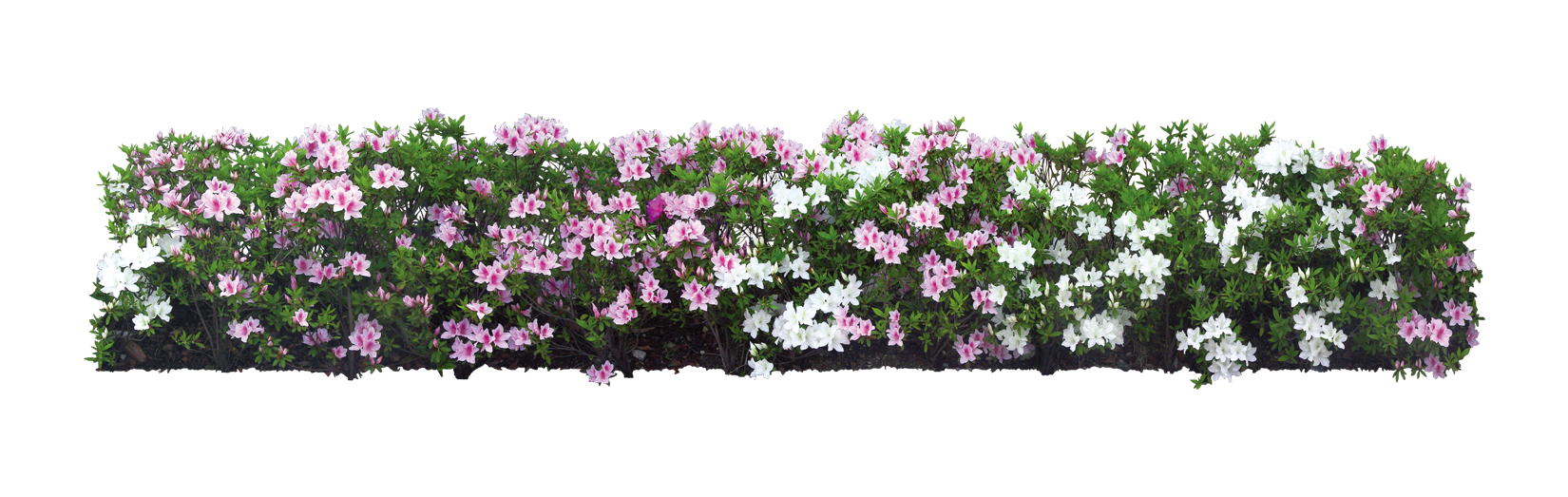 Download Plant Flower Shrub Tree White Garden HQ PNG Image in.
