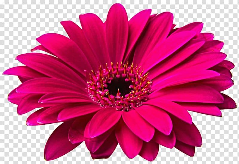 Red petaled flowers illustration, Transvaal daisy Flower.