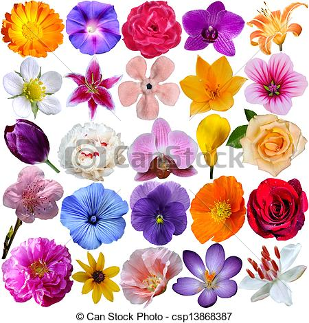 Crocus flower isolated Clipart and Stock Illustrations. 516 Crocus.