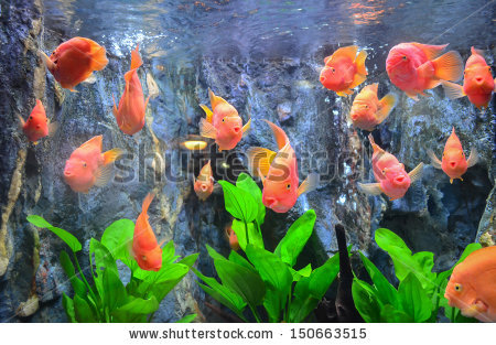Flower Horn Fish Stock Images, Royalty.