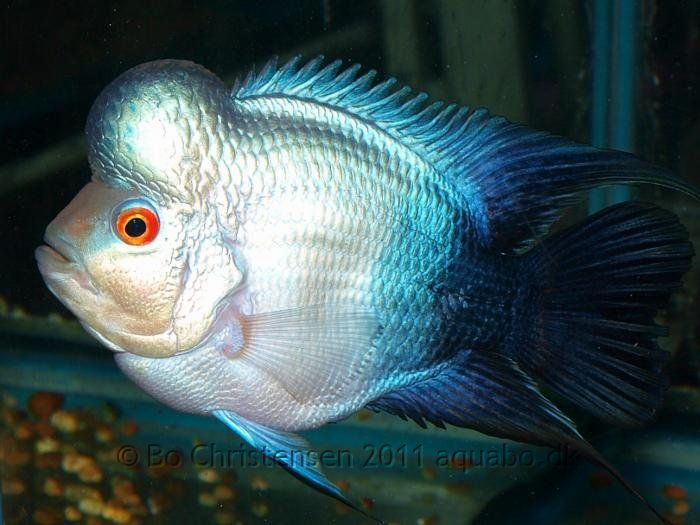 1000+ images about Flowerhorn Louhan on Pinterest.