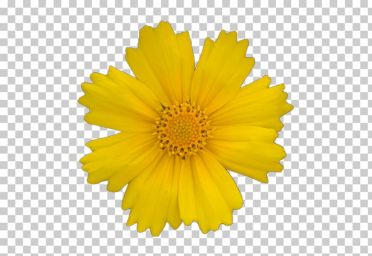 Transvaal daisy Yellow Gerber format , yellow flowers PNG.