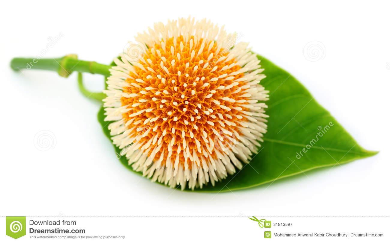 Neolamarckia Cadamba Or Kodom Flower Royalty Free Stock.