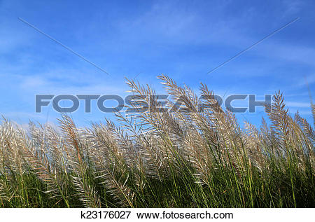 Picture of Kans grass locally known as the Kash flower in.