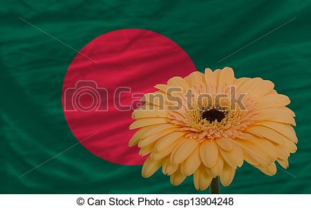 Stock Photo of gerbera flower in front national flag of bangladesh.