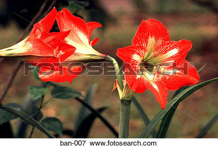 Picture of Red Trumpet Shaped Flowers Bangladesh Asia ban.