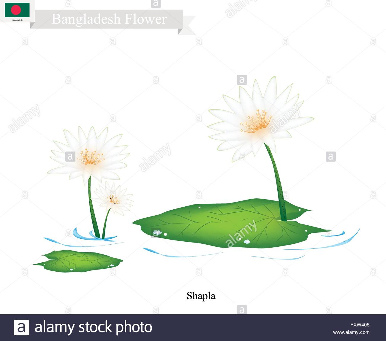 Bangladesh Flower, Illustration Of Shapla, Water Lily Or Lotus.