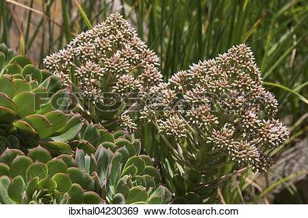 Stock Photograph of Aeonium percarneum, pink flowers, Gran Canaria.