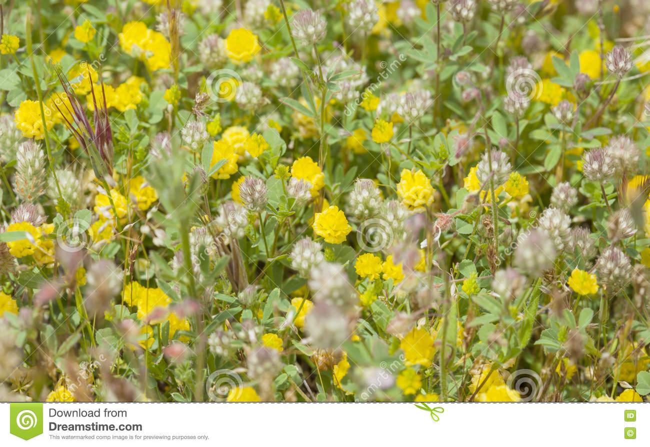 Flora Of Gran Canaria, Flowering Trifolium Arvense Stock Photo.