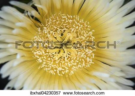 Picture of Yellow cactus flower (cactus), detail, Gran Canaria.