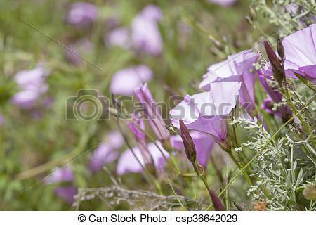 Stock Photo of flora of Gran Canaria, Flowering Convolvulus.