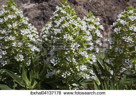 Pictures of Echium giganteum (Echium giganteum or Echium decaisnei.
