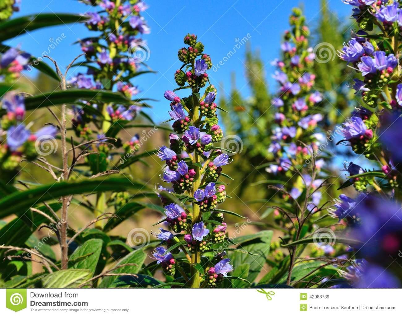 Wild Flowers Echium Callithyrsum, Gran Canaria Stock Photo.