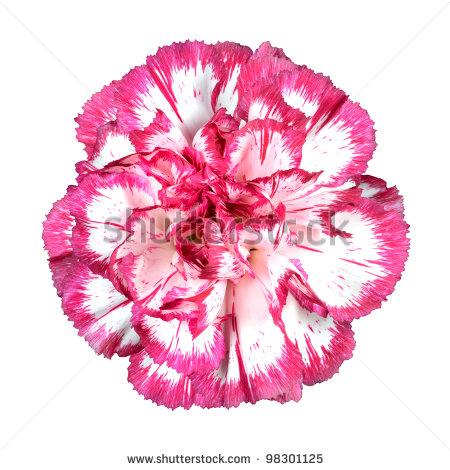 White Carnation Flower Clipart.