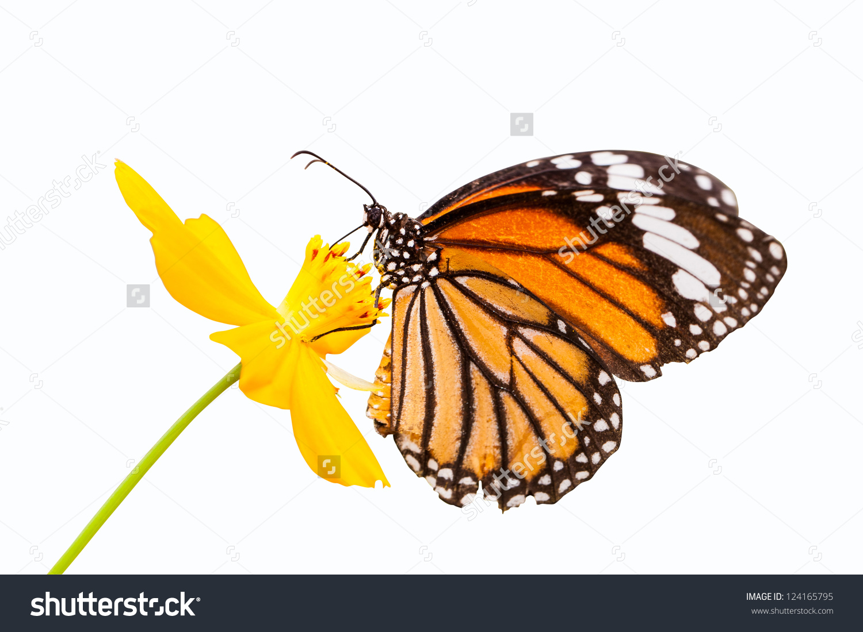 Monarch Butterfly Seeking Nectar On Flower Stock Photo 124165795.