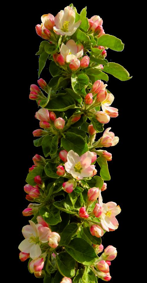 Spring Flower PNG Transparent Image.