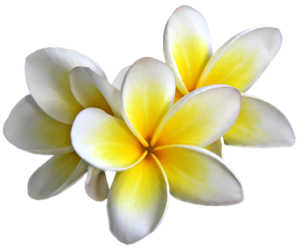 Plumeria Flowers Png Transparent Image.