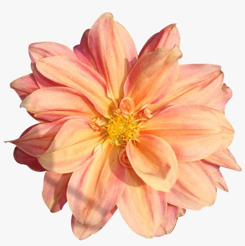 Peach Flower Clipart Real Flower.