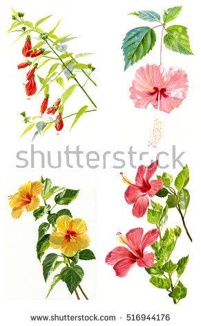 Hibiscus Clip Art Stock Photos, Royalty.