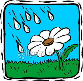 Rain Falling On A Daisy Plant.
