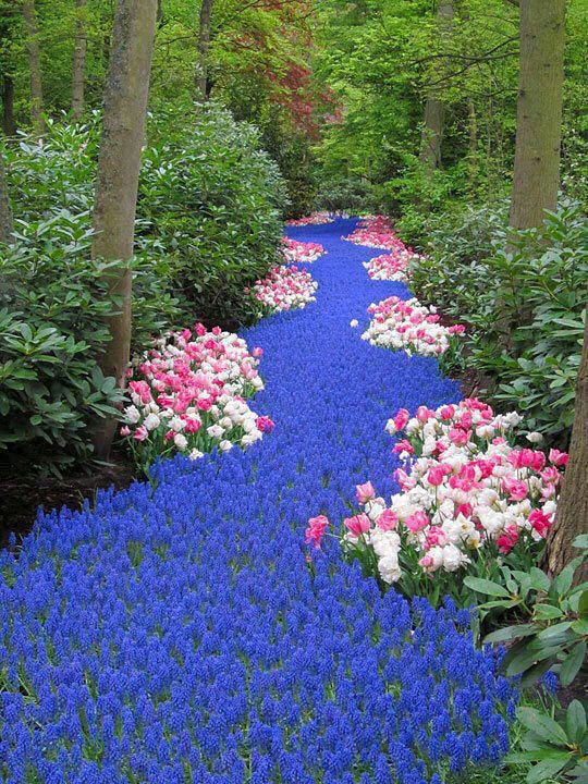Beautiful river of blue flowers.