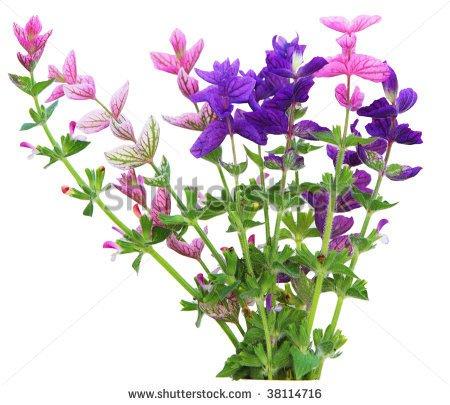 Sage Plant Clipart Clary Sage Spikes Flower #RHaYuI.
