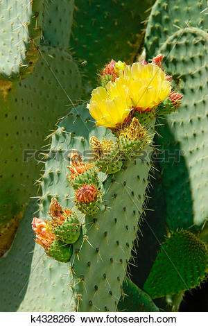 Stock Images of Two flowers and several buds on the cactus leaf.