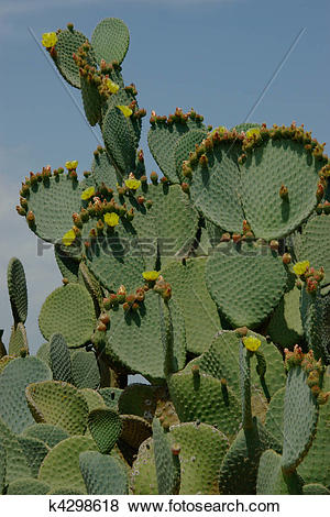 Pictures of Cactus plant with flowers and buds on leaves k4298618.