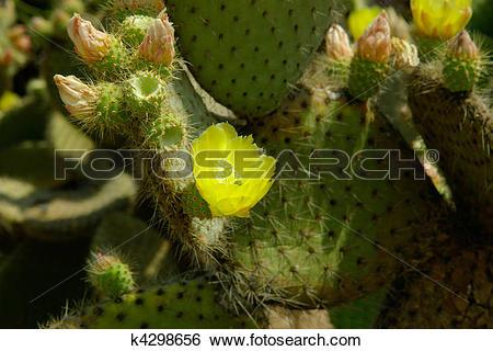 Stock Illustration of Macro view of cactus flower k4298656.