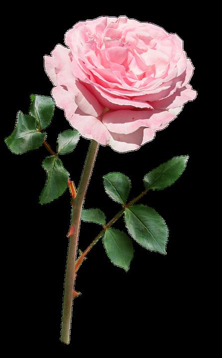Rose Pink Stem.